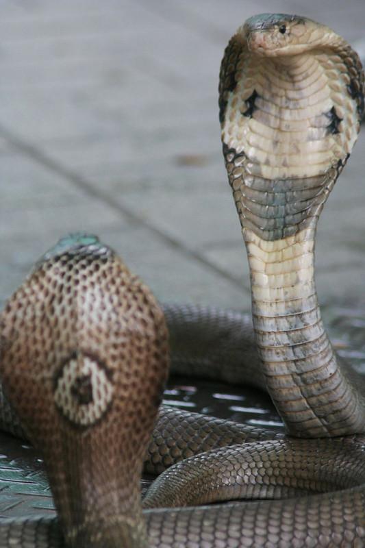 Le Cobra Royal Centerblog